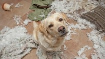 dog with separation anxiety has destroyed house