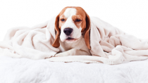 dog with cold hiding under warm blanket