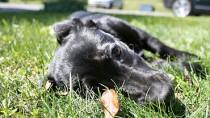 Intervertebral Disc Disease in Dogs