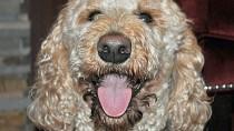 Blastomycosis in Dogs
