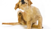 dog sratching dry skin