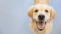 keep your dog's smile as healthy as this Golden Retriever