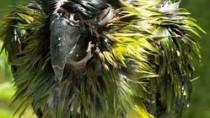 Wet parrot after bath