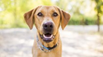 heartworm symptoms sneak up on dogs like this