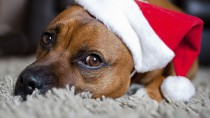 Holiday Pet Dangers: How to Keep Your Pet Safe This Year