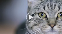 How To Apply Eye Drops or Ointment to Your Cat's Eyes