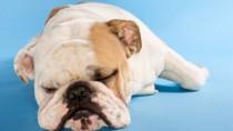 senior bulldog after anesthesia