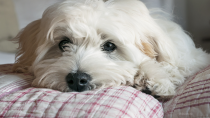 Hypocalcemia in Dogs