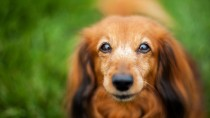 Hyperparathyroidism: How this Tumor Increased One Dachshund's Thirst