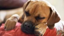Insulinoma in Dogs