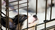 Kennel Cough: Signs and Symptoms