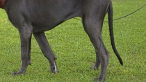 Limber Tail Syndrome: Why is My Dog's Tail Limp?