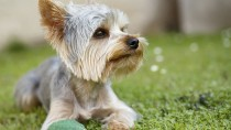 Liver Shunt in Dogs