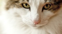 Mitral Insufficiency: A Leading Cause of Heart Failure in Cats