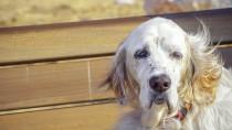 Peripheral Vestibular Disease in Dogs