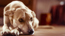 Bacterial Cystitis in Dogs