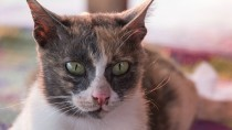 Depigmentation Disorders in Cats: Changing Skin Color