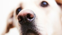 Depigmentation Disorders in Dogs: Changing Skin Color