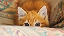 Feline Idiopathic Cystitis (FIC)