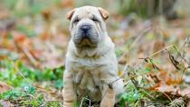 Glomerular Disease in Dogs