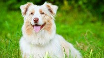 Hyperthermia in Dogs