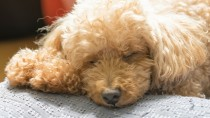 Hypoglycemia in Dogs