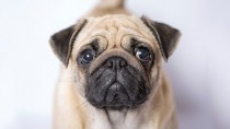 Pug looking into the camera