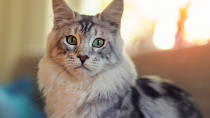 Mast Cell Tumors in Cats