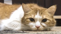 Acute Pancreatitis in Cats