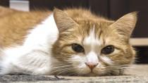 Acute Pancreatitis in Cats
