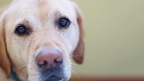 Prostate Cancer and Prostate Disease in Dogs