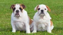 Skin Fold Dermatitis in Dogs