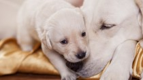 Vaginal Hyperplasia in Dogs