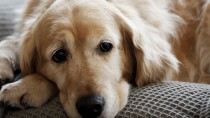 Pulmonary Thromboembolism (PTE) in Dogs and Cats