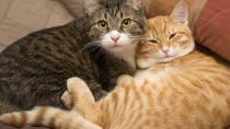 Pyothorax in Cats