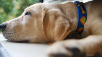 Roundworm in dogs