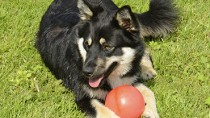 The Finnish Lapphund