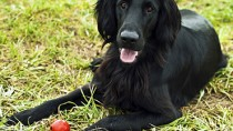 Flat-Coated Retrievers