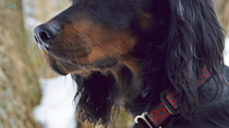 The Gordon Setter