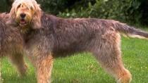 The Otterhound