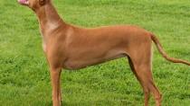 The Pharoah hound