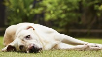 Tremors in Dogs: Could My Dog Be Poisoned?