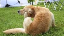 Walking Dandruff in Dogs