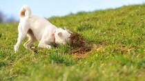 Why do Dogs Eat Dirt and Other Gross Things?