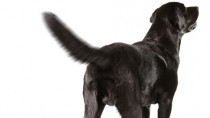 Black Lab wagging her tail