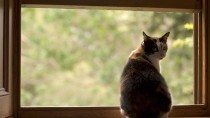 Why Does My Veterinarian Want to Check My Indoor Cat for FeLV?