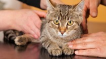 Why Does My Veterinarian Want to Test My Indoor Cat for FIV?