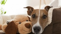 Dog on Couch With Stuffed Dog