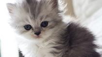 Why Should I Neuter My Kitten?