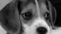 Beagle resting his head